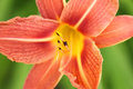 Orange lily detail Royalty Free Stock Photo