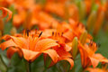 Orange Lily flower close up with lily background pattern Royalty Free Stock Photo
