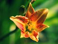 Orange lily flower on a green background Royalty Free Stock Photography