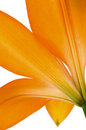 Orange lily flower isolated closeup on a white background Royalty Free Stock Photo