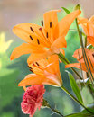Orange lily flower in natural sunlight flowers two beautiful lilies lit by and a red carnation Royalty Free Stock Image