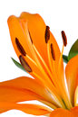 Orange lily flower single isolated on white background Royalty Free Stock Image