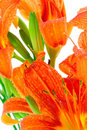 Orange lily flowers Stock Photo