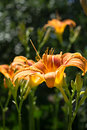 Orange lily in the garden Royalty Free Stock Images
