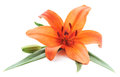 Orange lily. Royalty Free Stock Photo