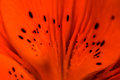 Orange Lily Petal Abstract Royalty Free Stock Photo