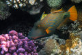 Orange-lined Triggerfish Royalty Free Stock Photo