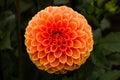 Orange Lollipop Dahlia Royalty Free Stock Photo