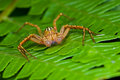 Orange lynx spider Royalty Free Stock Photos