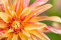 Orange macro view of flower dahlia Royalty Free Stock Photos