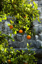 Orange mandarin tree against stone wall Royalty Free Stock Photography