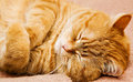 Orange manx cat - Stock Image