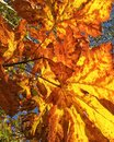 Orange maple leaves Royalty Free Stock Photo
