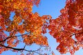 Orange maple tree fall foliage colors of in autumn Stock Photos