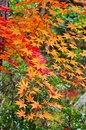 Orange maples tree in the garden of japan Royalty Free Stock Photography