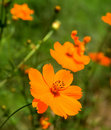 Orange marguerite Stock Photography