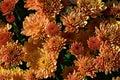 Orange Marigold closeup on a warm summer day Royalty Free Stock Photo