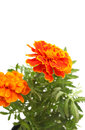 Orange marigold Royalty Free Stock Photo