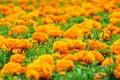 Orange marigolds Royalty Free Stock Photography