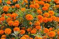 Orange marigolds grow on the lawn Royalty Free Stock Photo