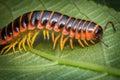 Orange Millipede Leaf