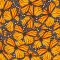 Orange monarch  butterfly Royalty Free Stock Photo