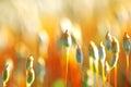 Orange moss buds