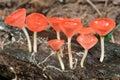 Orange mushroom or champagne mushroom in rain forest fresh thailand Stock Images