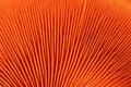 Orange mushroom gills Royalty Free Stock Photos