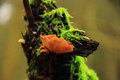 Orange mushroom on a slice of the old mouldering stub overgrown with a fluffy moss the bright grows Stock Photography