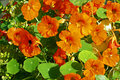 Orange nasturtium blooming in the garden Stock Photography