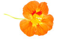 Orange Nasturtium Flower Royalty Free Stock Images