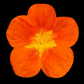 Orange nasturtium flower isolated on black background Stock Photos