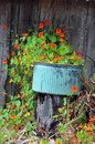 Orange nasturtium flowers beautiful in blue planter Royalty Free Stock Photos