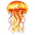 Orange Ocean Water Jellyfish, medusa, isolated, sea life, watercolor illustration Royalty Free Stock Photo