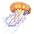 Orange Ocean Water Jellyfish, medusa, , sea life, watercolor illustration Royalty Free Stock Photo