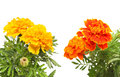 Orange and orange marigold Royalty Free Stock Photo