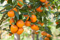Orange on orange tree fresh Stock Photography