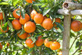 Orange on orange tree fresh Royalty Free Stock Photo