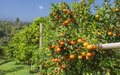 Orange on orange tree fresh Royalty Free Stock Image