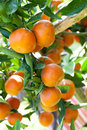 Orange on orange tree fresh Royalty Free Stock Images