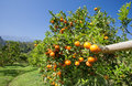 Orange on orange tree fresh Royalty Free Stock Photos