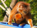 Orange orangutan family in Berlin zoo Royalty Free Stock Photo
