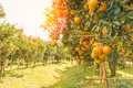 Orange orchard in morning. Royalty Free Stock Photo