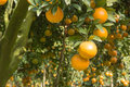 Orange orchard Royalty Free Stock Photo