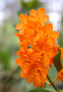 Orange orchid a beautiful in Royalty Free Stock Photo