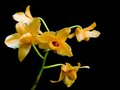 Orange orchid on black background Stock Images
