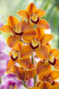 Orange orchid an close up Royalty Free Stock Image
