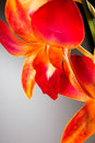 Orange orchid macro photo of an on a gradiated grey background Royalty Free Stock Photos