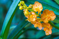 Orange orchids close up at  ,Chiangrai Thailand Royalty Free Stock Photo
